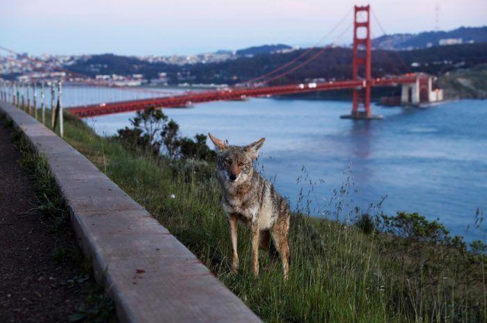 Койот в Сан-Франциско