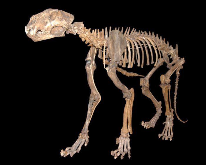 Кости Panthera spelaea