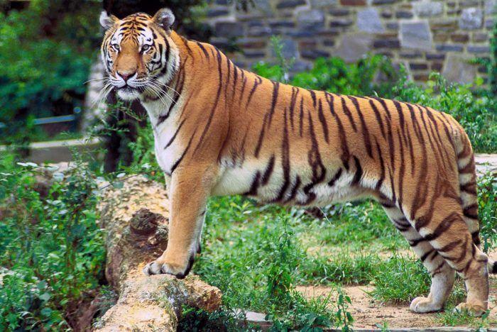 Вид тигра