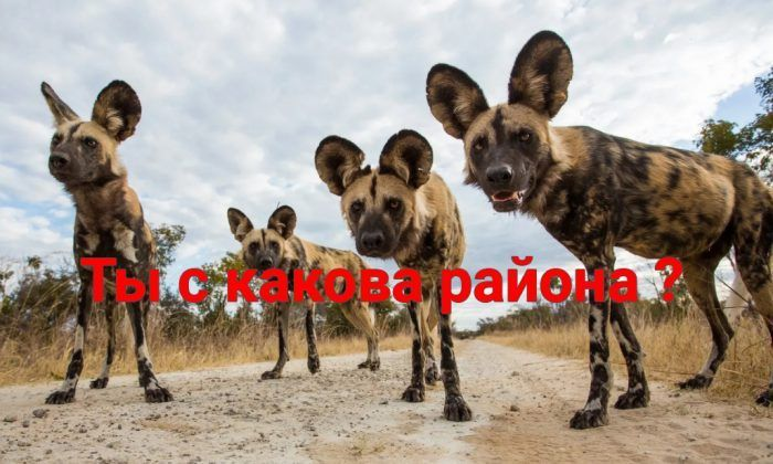 Собаки из Африки