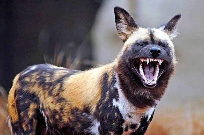 Африканская собака рычит