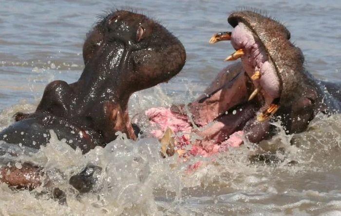 Сражение бегемотов
