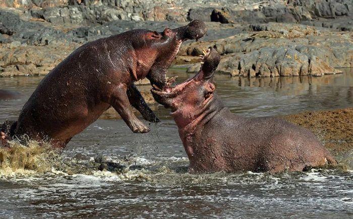 Пасть бегемотов