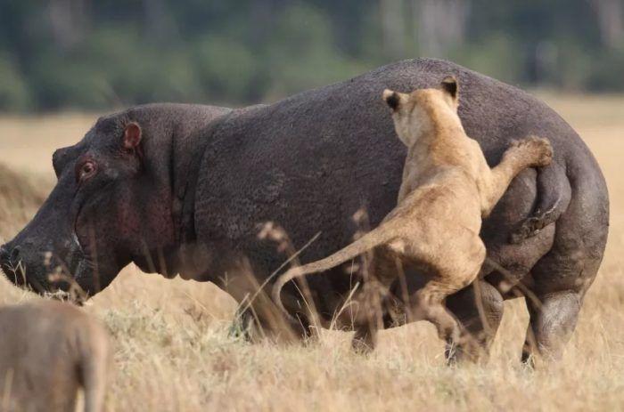 Напала на бегемота