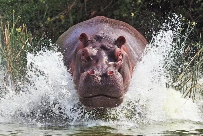 Огромный бегемот