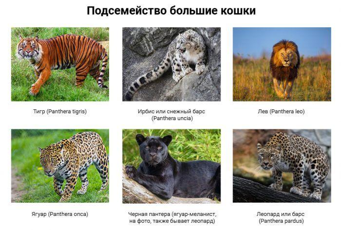 Родственники льва