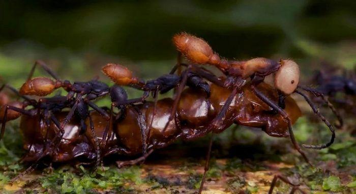 Еда муравьев