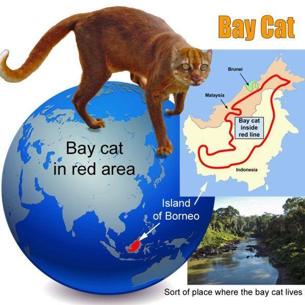 Обитание дикой кошки