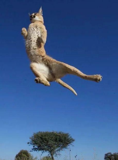 Каракал летает