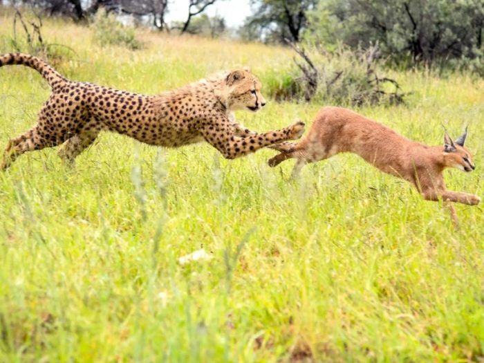Гепард нападает