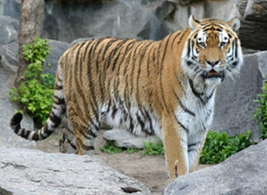 Тигр с белой грудкой