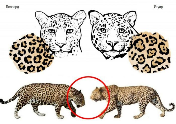 Отличия ягуара и леопарда