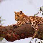 Лежит на дереве