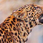 Пушистые уши у леопарда