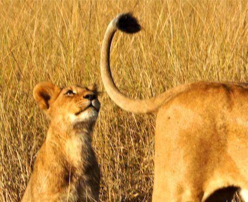 Кисточка у льва