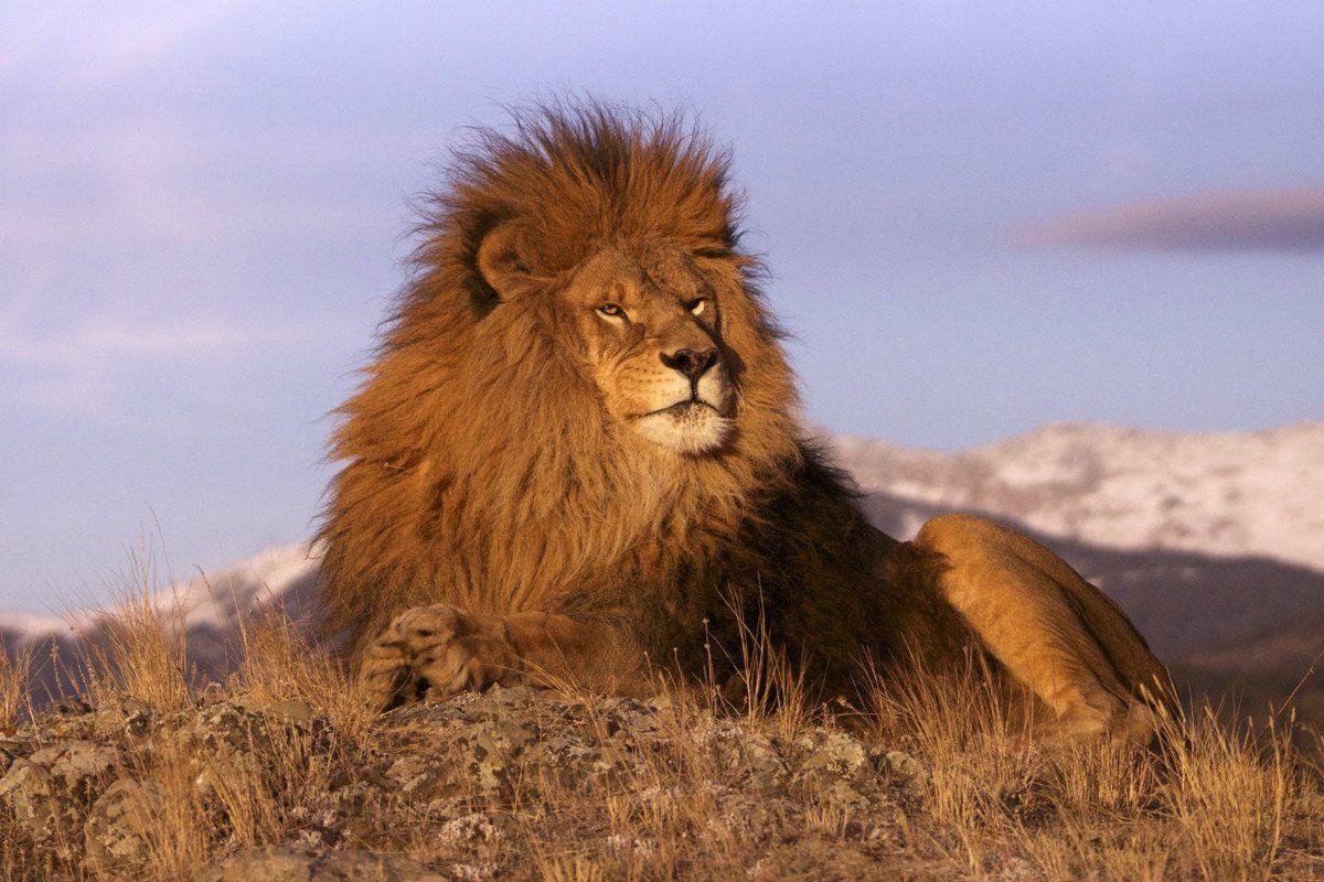 туда картинки про львов в африке выйдет экраны