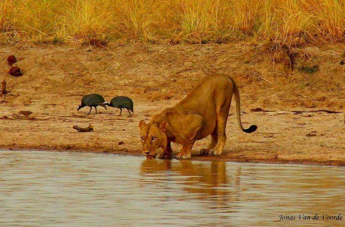 лев внациональном парке Пенджари