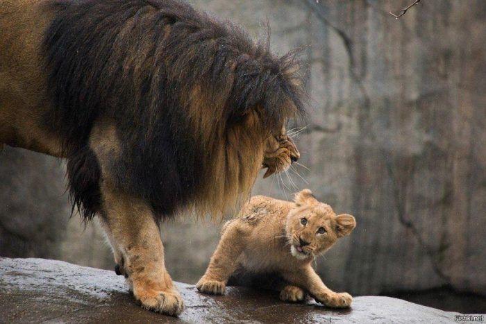 Лев нападает на детеныша