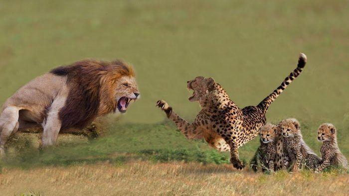 Лев нападает на гепарда