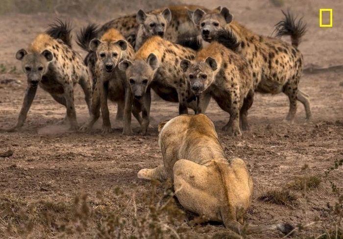 Гиены и лев