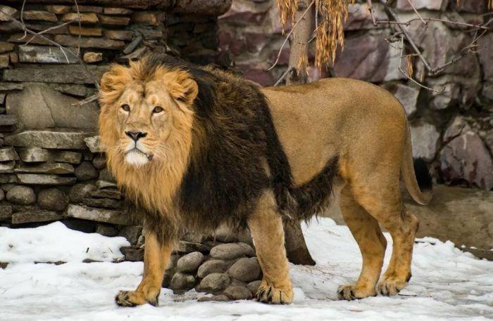 Лев с темной гривой