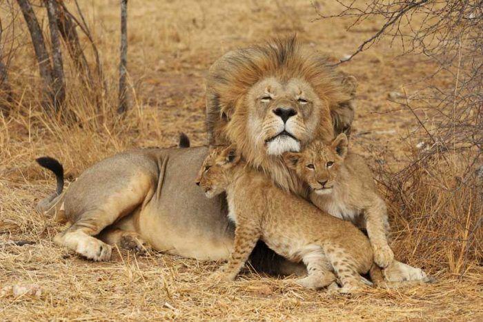 Львята играющие со львом
