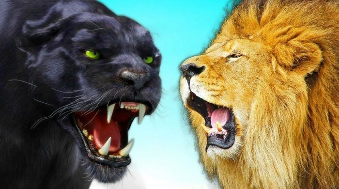 Пантера и лев