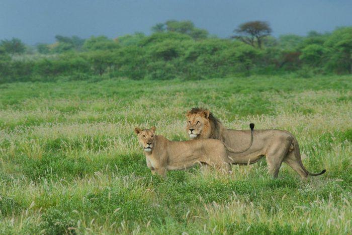 Львы в травянистой равнине