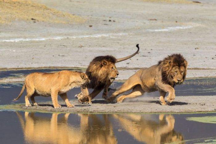 Лев прогоняет одиночку