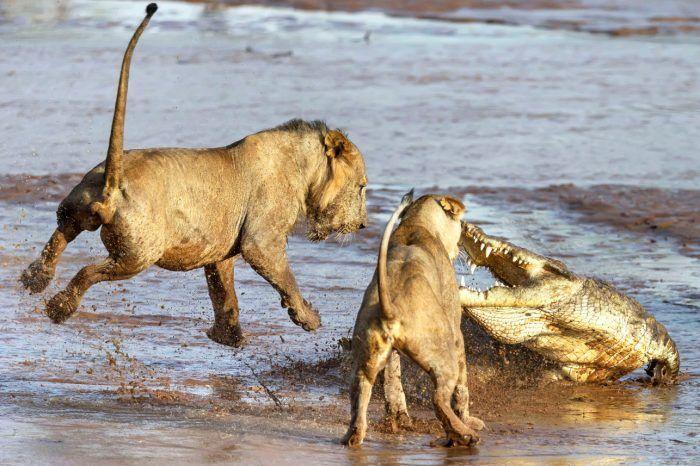 Львы и крокодил