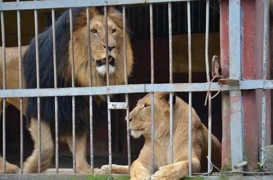 Львы в зоопарке