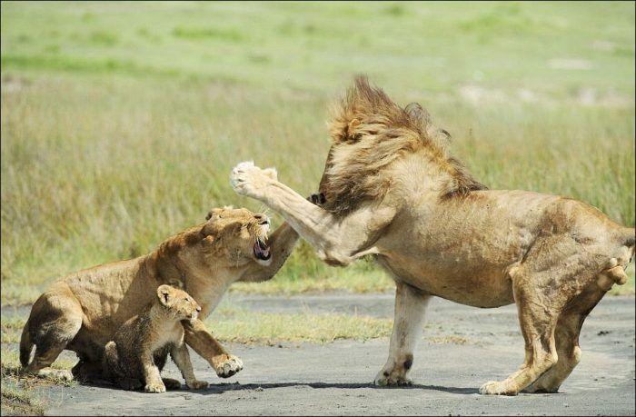 Львица спасает детеныша