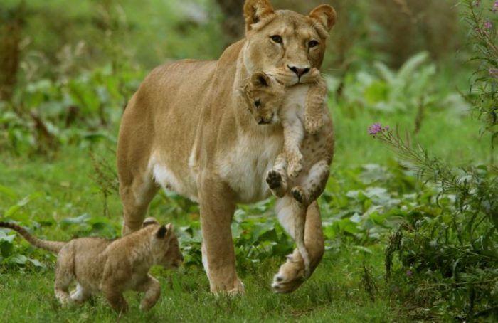 Львица перетаскивает львят