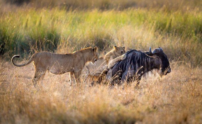Львица учит охотиться львят