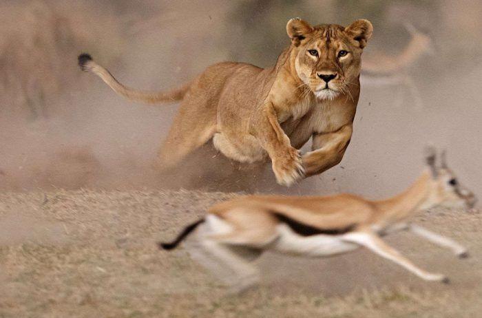 Охота львиц