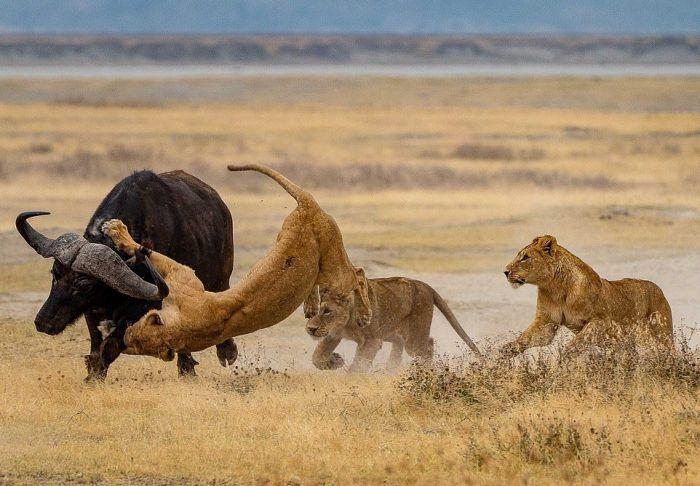 Львицы охотятся
