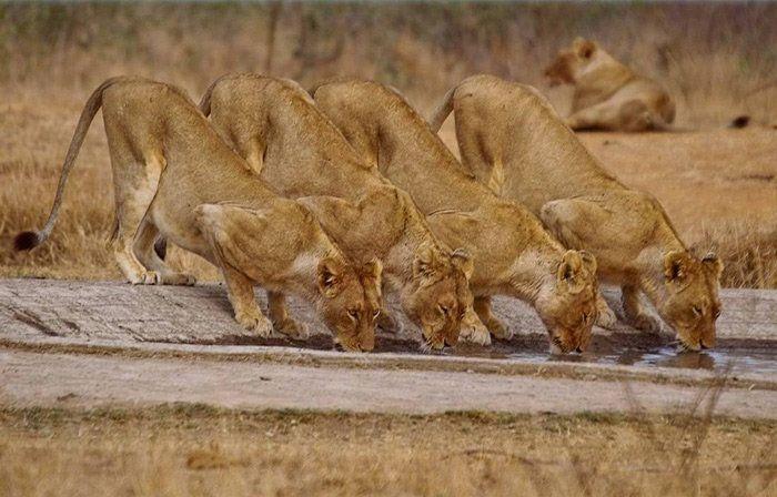 Коалиция львиц