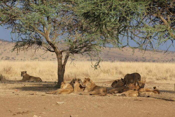 Львы прячутся в тени дерева