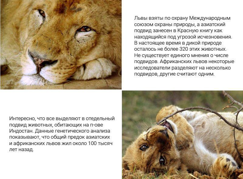 Лев под охраной