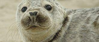 Серый тюлень