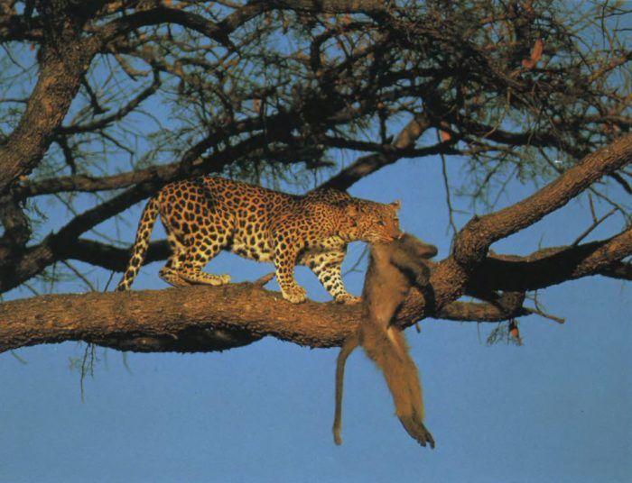 Охота леопарда на дереве