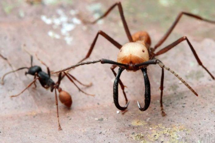 Рабочий и солдат муравьи