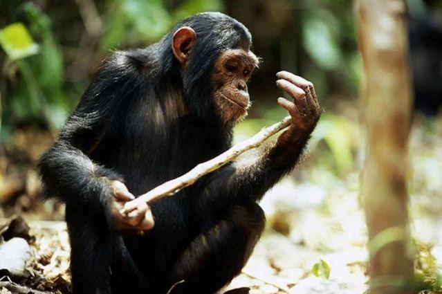 Шимпанзе трогает палку