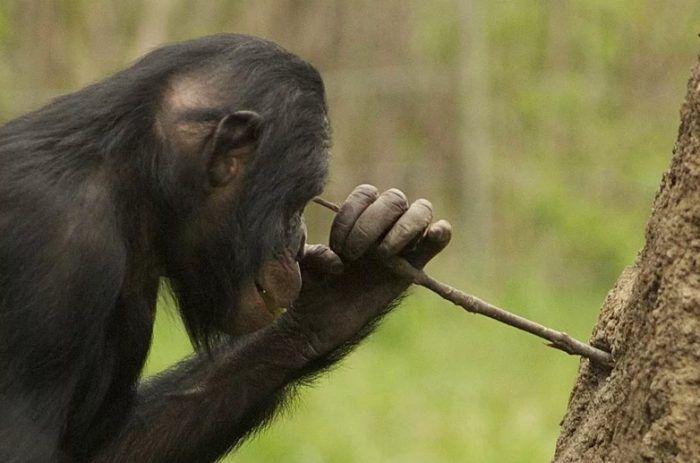 Шимпанзе с палочкой