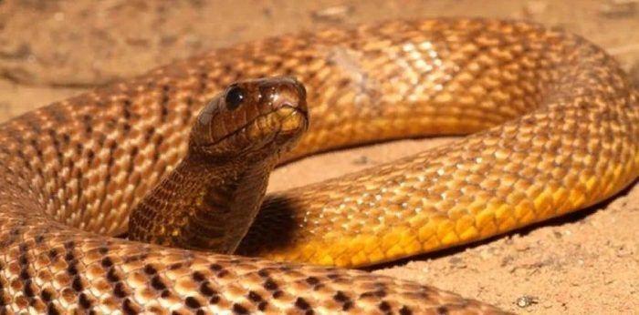 Желтая змея на песке