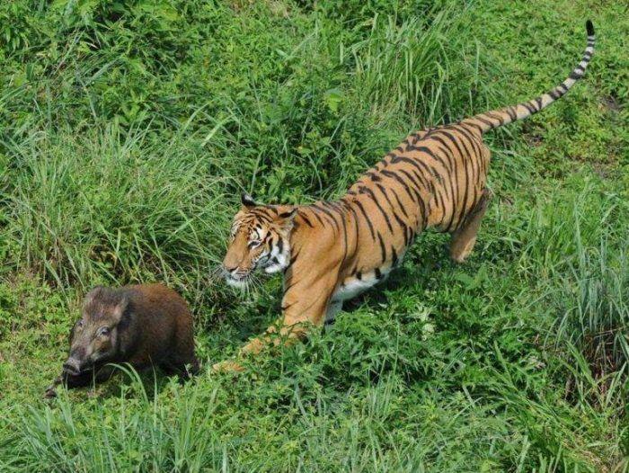 Тигр бежит за кабанчиком