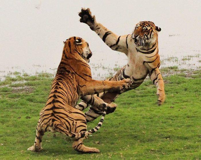 Борьба или игра тигров