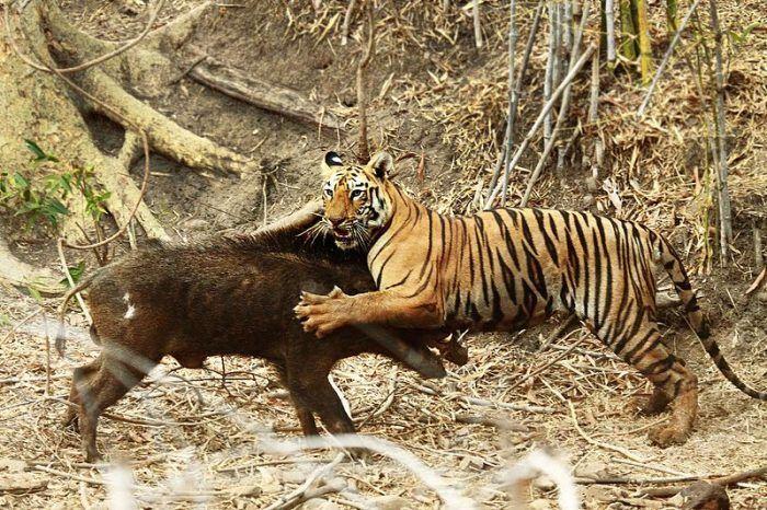 Тигр настиг кабана