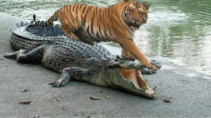Схватка тигра и крокодила
