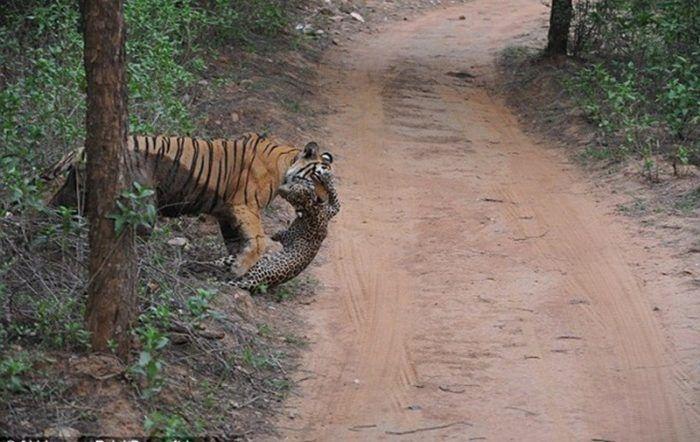 Тигр загрыз леопарда